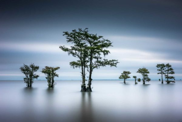 art print of cypress trees on Lake Moultrie, South Carolina, green leaves and dark blue early morning light, by Ivo Kerssemakers